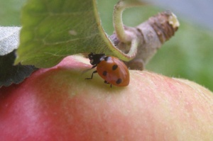 Orchard_ladybug